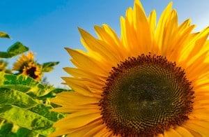 L'huile de tournesol contient des acides gras insaturés oméga 6